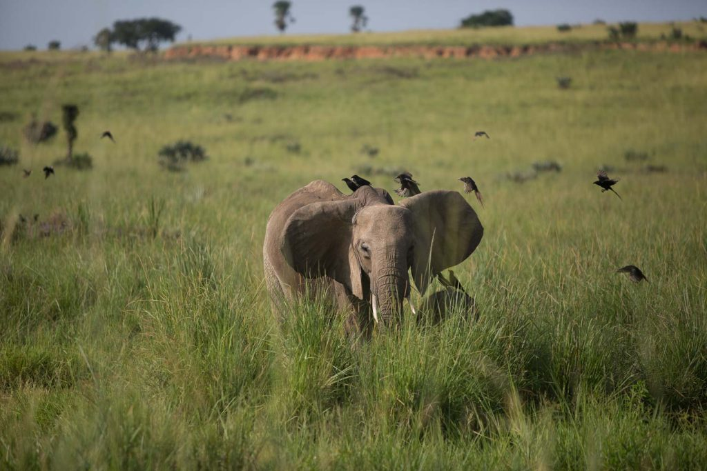 En elefant i Uganda